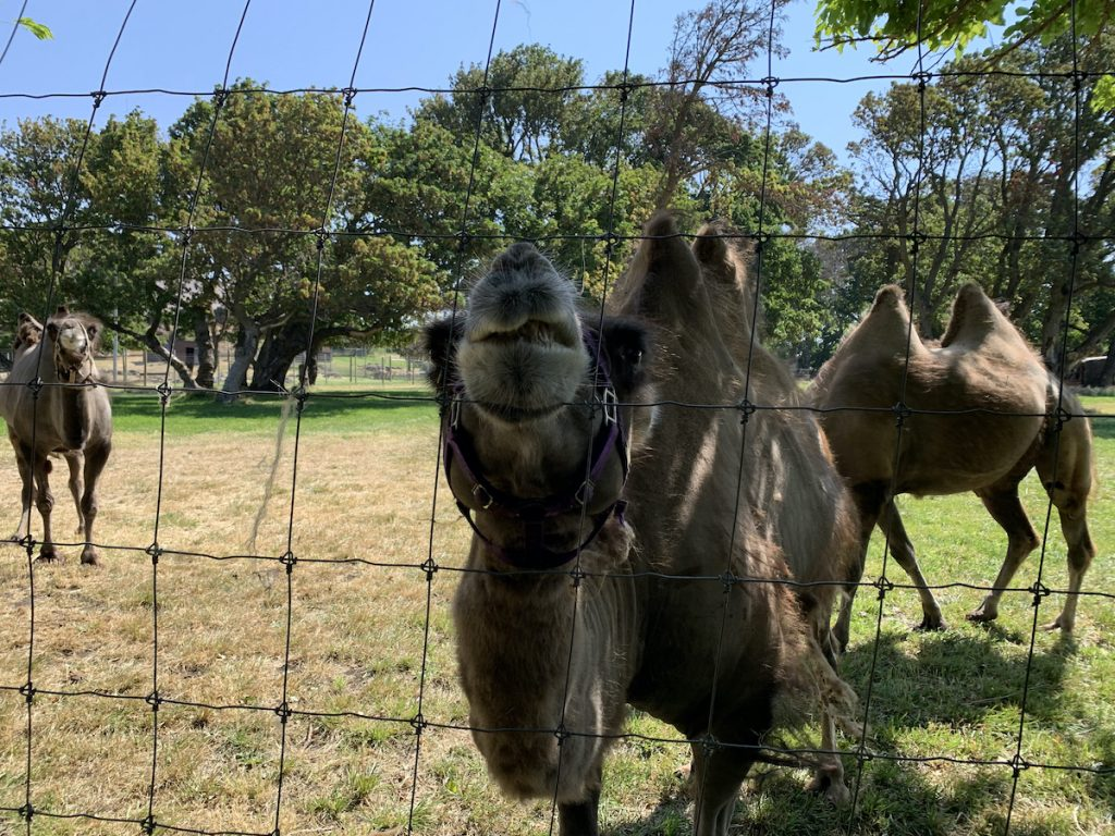 Bactrian camel at Schreiner Farm